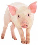 Поголовье свиней в Волгоградской области сократилось почти на 15% из-за АЧС