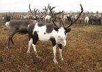 Минсельхоз оценил комплекс по безотходной переработке продукции оленеводства в Коми