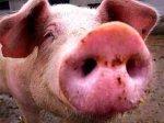 Более 80% свинохозяйств Запорожской области перевели на закрытый режим