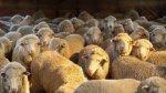 В США власти помогут овцеводам реализовывать продукцию