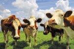 Провал по крупному рогатому скоту в Приангарье нужно ликвидировать за три-пять лет