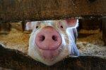 Россия в 2013 г. снизила импорт живых свиней на убой