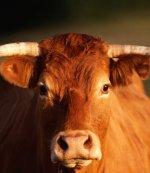 Цены на мясо крупного рогатого скота из-за эмбарго России снизились на 19%