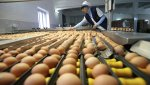 Российские птицеводы готовы полностью закрыть импорт
