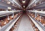 На Камчатке построят первую фабрику по производству мяса бройлеров