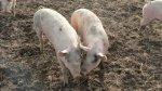 Лукашенко: в Беларуси в 2015 году должны быть восстановлены объемы производства свинины