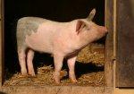 Россельхознадзор: в странах Евросоюза зафиксировано 124 случая АЧС