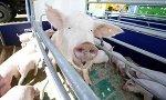 Два свинокомплекса на 100 тыс. голов планируется построить в Минской области