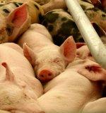 Японские свиноводы обеспокоены возвращением свиной диареи