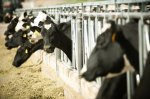 Откормочные площадки для производства говядины в Приамурье создадут через год