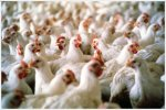 Китайские компании построят в Казахстане птицефабрику