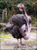 Омское птицеводство наращивает объёмы производства мяса индейки