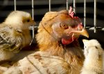 В России поголовье птицы за 9 месяцев 2014 года увеличилось на 5% до 538,8 млн. голов