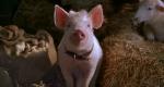 Для приморских свиней выделят 130 миллионов рублей