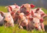 В Россельхознадзоре не исключили отмены запрета на ввоз племенных свиней из стран ЕС