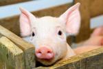 В Украине стабилизировались цены на свинину в живом весе
