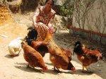 Индия обратится в ВТО по поводу американской курятины