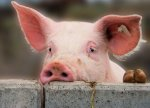 Еврокомиссия увидела признаки восстановление в свиной отрасли