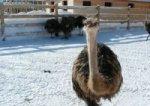 Январские морозы не страшны тюменским страусам
