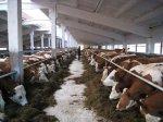 Животноводы Ставрополья получили более тысячи голов племенного стада КРС из Канады