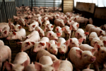 Якутские свиноводческие фермы будут построены в Приамурье