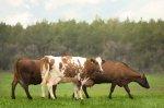 Удельный вес племенных коров в общем поголовье КРС по России - более 12,7%
