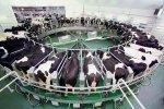 Молочная продуктивность коров в России за год увеличилась на 7,6%