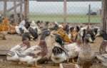 Алтайский производитель утиного мяса вложит в развитие производства 7 млрд рублей