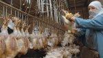 Россия не пустила из Украины на экспорт 37 тонн мяса птицы