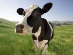 Ульяновская область: на 14% увеличилось поголовье племенных коров