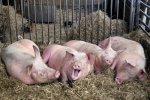 Производство свиней на убой в России увеличилось более чем на 11%