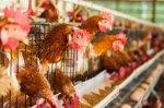 Беларусь запретила ввоз птицы из пяти штатов США