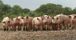 Краснодарского края рассчитывают к 2018 г. удвоить поголовье свиней