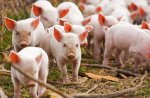 В США племенное поголовье свиней выросло на 2 %