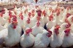 Архангельская область теряет птицефабрики