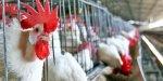 Россельхознадзор продлил эмбарго на канадскую птицу запретом из-за гриппа