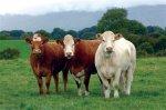 На развитие мясного скотоводства Дагестану выделили 23,7 млн рублей