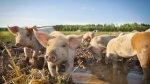 ФАО прогнозирует рост мирового производства свинины и птицы