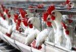 Птичий грипп в США привел к дефициту яиц и росту запасов курятины