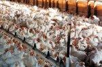 Российские сельхозорганизации увеличили производство птицы на 9,4%