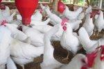 В Волгоградской области вплотную занялись развитием птицеводства
