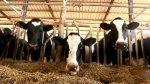 В Саратовской области «просели» показатели по животноводству