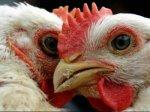 Беларусь из-за птичьего гриппа ограничила поставки мяса птицы из Республики Тува
