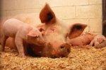 Беларусь запретила поставку свинины из 4 регионов России