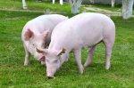 В Челябинской области открыли крупный свинокомплекс
