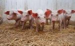 Латвия получит от ЕС 8,5 млн евро для поддержки молочной и свиноводческой отраслей