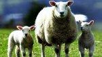 Дагестан лидирует по овцеводству