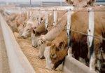 В КБР выросло производство скота и птицы