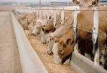 В Калининградской области за год поголовье скота выросла на 16,6%