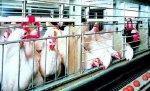 Принадлежащие Курской области акции «Курской птицефабрики» в очередной раз выставлены на торги